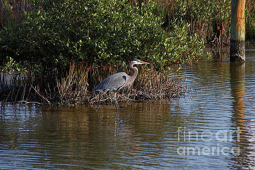 Great Blue Heron in  The Laguna Madre Wetlands by TN Fairey