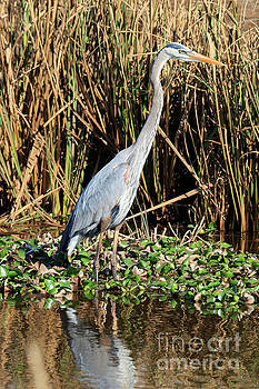 Great blue heron in the winter swamp by Louise Heusinkveld