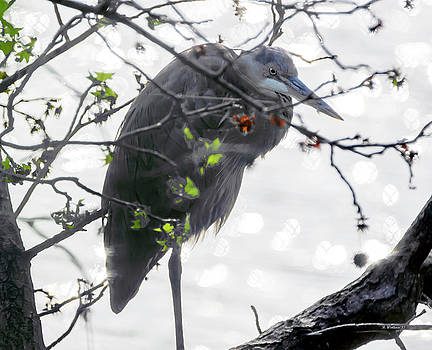 Great Blue Heron In Tree by Brian Wallace