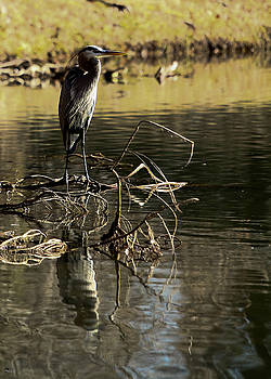 Jason Blalock - Great Blue Heron