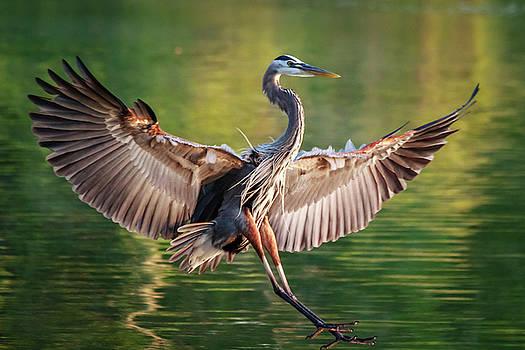 Great Blue Heron by Jim Johnson