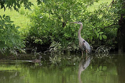 Great Blue Heron lakeside by Dan Ferrin