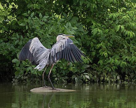 Great Blue heron landing by Dan Ferrin