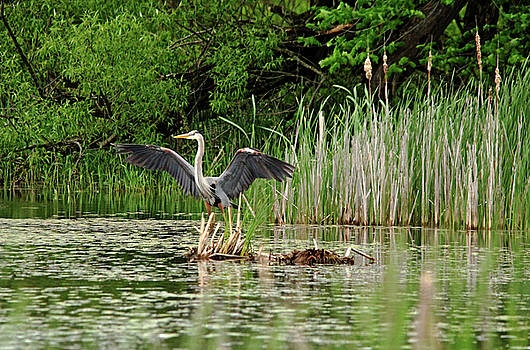 Debbie Oppermann - Great Blue Heron Landing