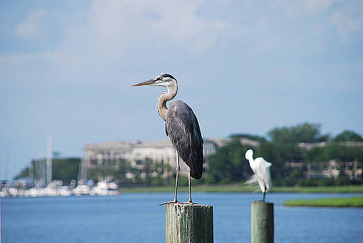 Great Blue Heron by Margaret Palmer
