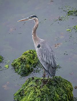Great Blue Heron, Monterey Harbor, California by Randy Straka