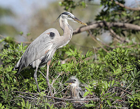 Great Blue Heron Nest and chick by Jack Nevitt
