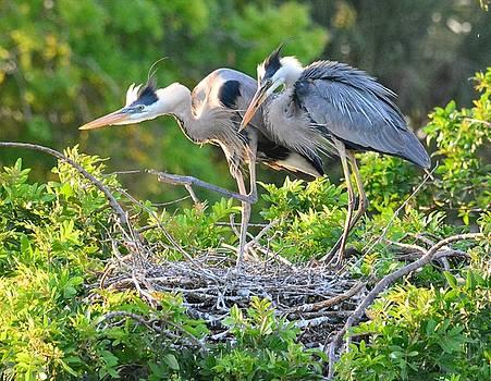 Patricia Twardzik - Great Blue Heron Nesting Couple