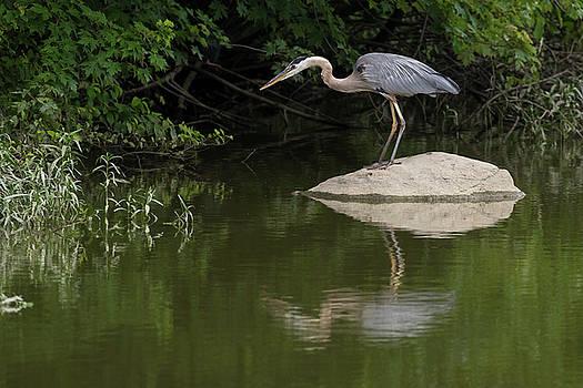 Great Blue Heron on rock by Dan Ferrin