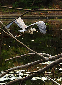 Tom Callan - Great Blue Heron on the Lullwater Prospect Park