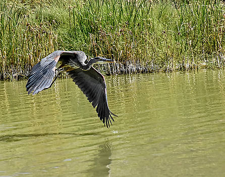 Allen Sheffield - Great Blue Heron on the Wing