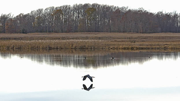 Great Blue Heron over Glassy Water by Jennifer Nelson