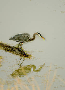 Great Blue Heron by Pamela Patch