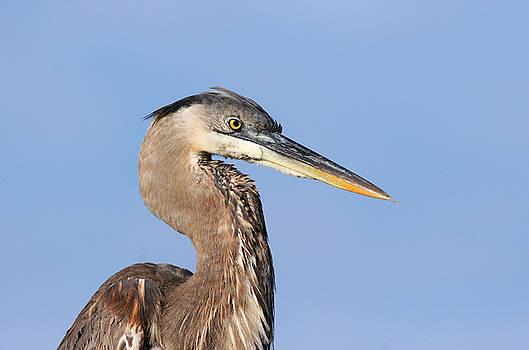 Great Blue Heron Portrait by Doris Dumrauf