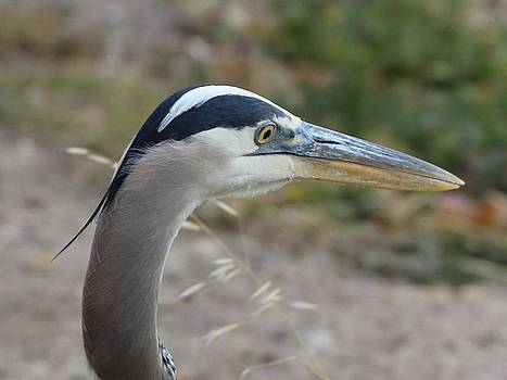 Gary Canant - Great Blue Heron Profile