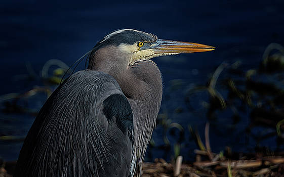 Randy Hall - Great Blue Heron