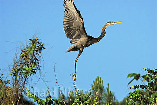 Great Blue Heron by Richard Nickson