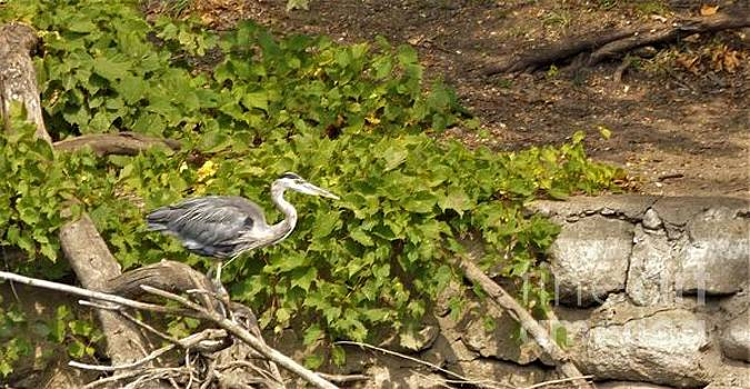 Great Blue Heron Searching The Shoreline            September            Indiana by Rory Cubel