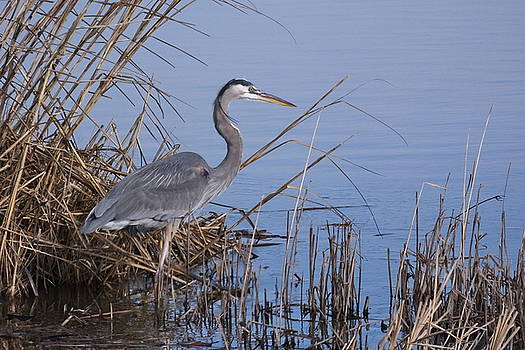 Great Blue Heron - Stalking by Francie Davis