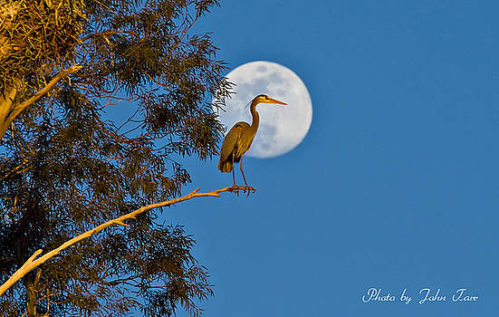 John Tarr Photography  Visual Adventurer - Great Blue Heron Standing in Tree with Full Moon Behind