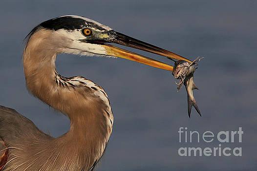 Great Blue Heron w/Catfish by Meg Rousher