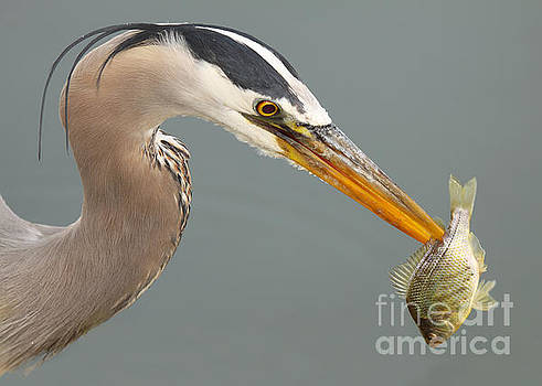 Great Blue Heron With Speared Fish by Max Allen