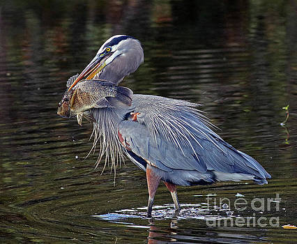 Great Blue Heron with Tilapia by Larry Nieland