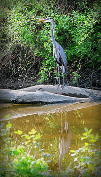 Great Blue Heron - Wye Mills by Brian Wallace