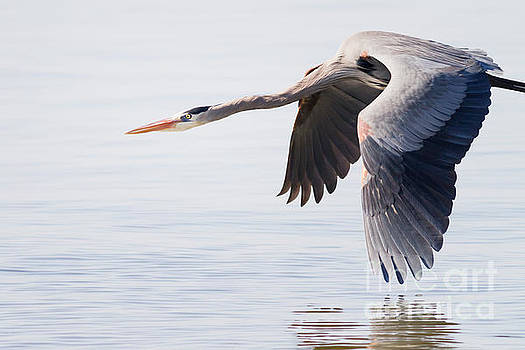 Michael McStamp - Great Blue in Flight No. 1