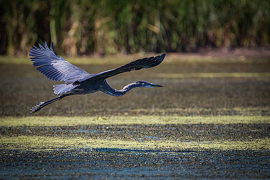 Great Blue In Flight by Ray Congrove