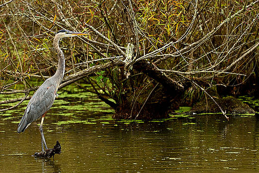 Great Blue by Jamie Pattison