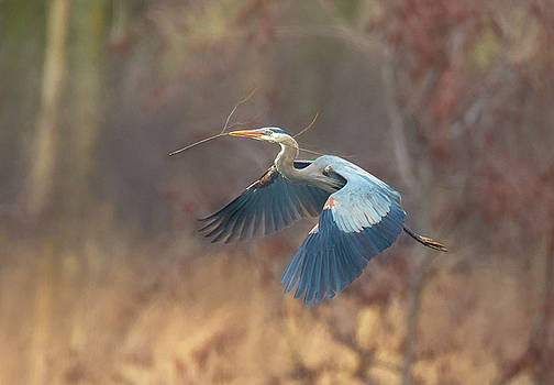 Great Blue by Kelly Marquardt