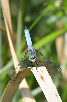 Great Blue Skimmer Dragonfly by Nicki Bennett