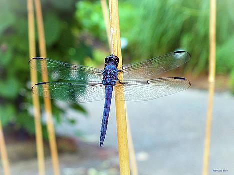Great Blue Skimmer  by Hannah Underhill