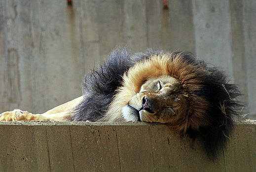 Great Cat - Siesta Time by Vadim Levin