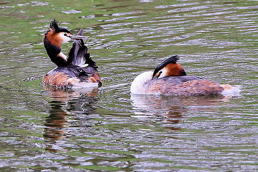 Great crested grebes by David Bradley