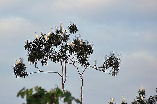 Harvey Barrison - Great Egret along the Pahuachiro Cano