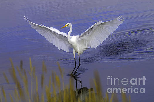 Tim Moore - Great Egret Approaching