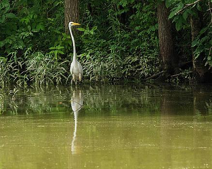 Great Egret at Lake's Edge by Dan Ferrin