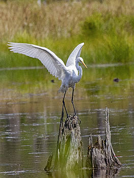 Great Egret at Pond by John Stoj