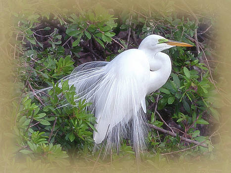 Great Egret at the Rookery by Deb Henman