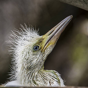 Great Egret Chick Waiting by Paula Porterfield-Izzo