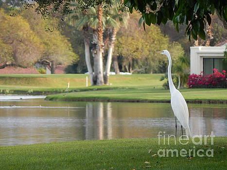 Great Egret by Chris Tarpening