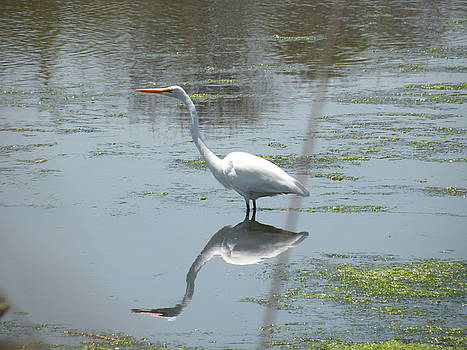Great Egret by Donald Cameron