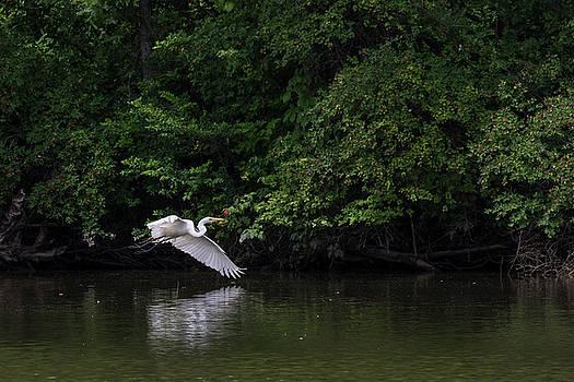 Great Egret flying lowit by Dan Ferrin