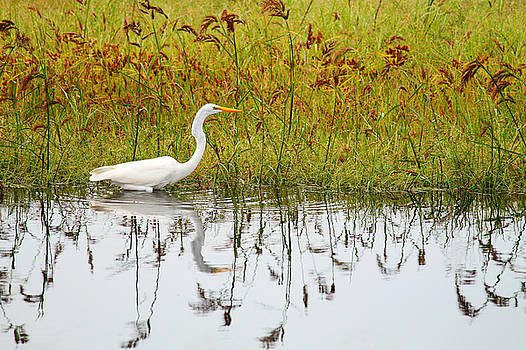 Great Egret by Francie Davis