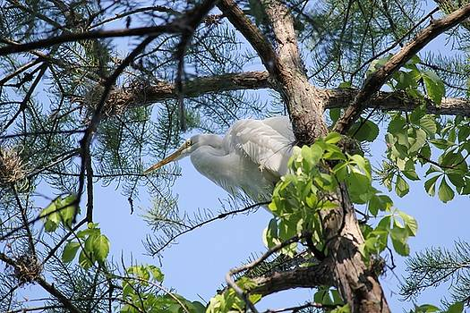 Great Egret in Breeding Plumage by Theresa Willingham