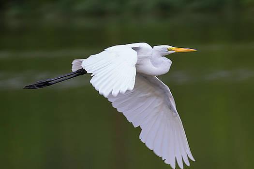Great Egret in flight by Dan Ferrin