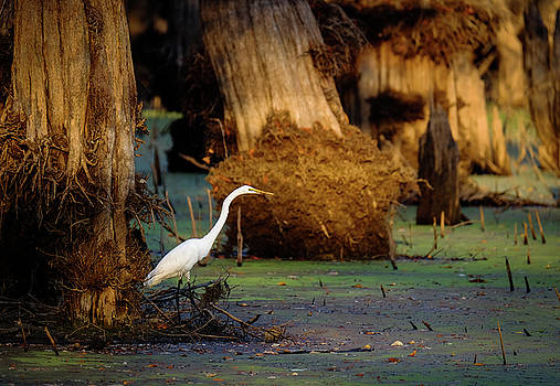 Great Egret in Late Afternoon by Lance King