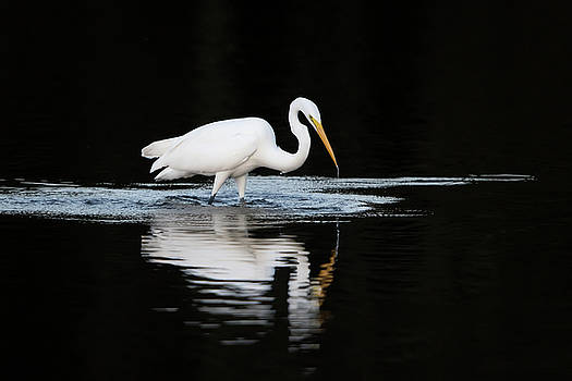 Great Egret fishing in early morning by George DeCamp